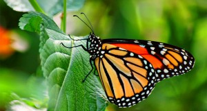 monarch butterfly-Monsanto-genetically engineered corn